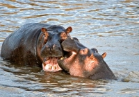 hippos-fight-edited