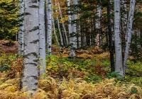White Birches - Karen