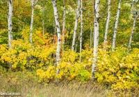White Birches - Leslie