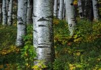 Birches in Jackson - Kevin