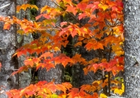 Red Maple - Karen