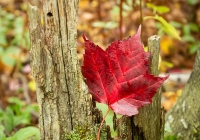 Red Maple - Leslie