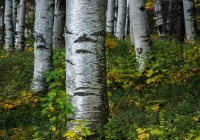 Birches in Jackson - Kevin