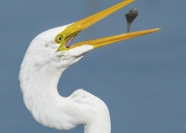 1st~AA~Egret Snack~David Uliss