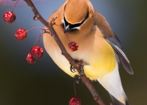 3rd~AA~Cedar Waxwing & Berries~Kevin Bernard