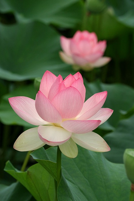 It's Lotus Blossom Time