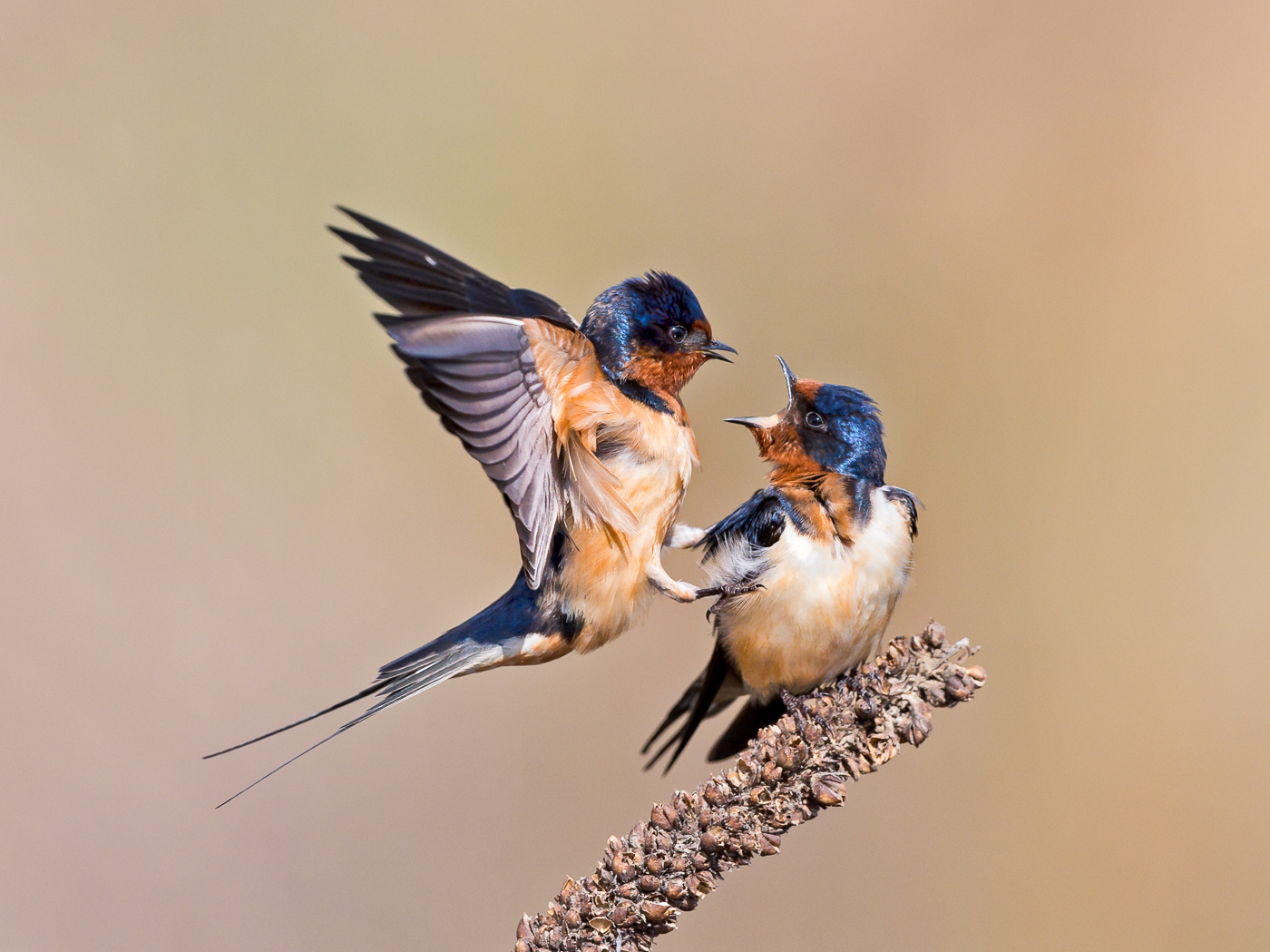 1st-23~AA~Barn Swallows #2~Zuzarte M D Karl