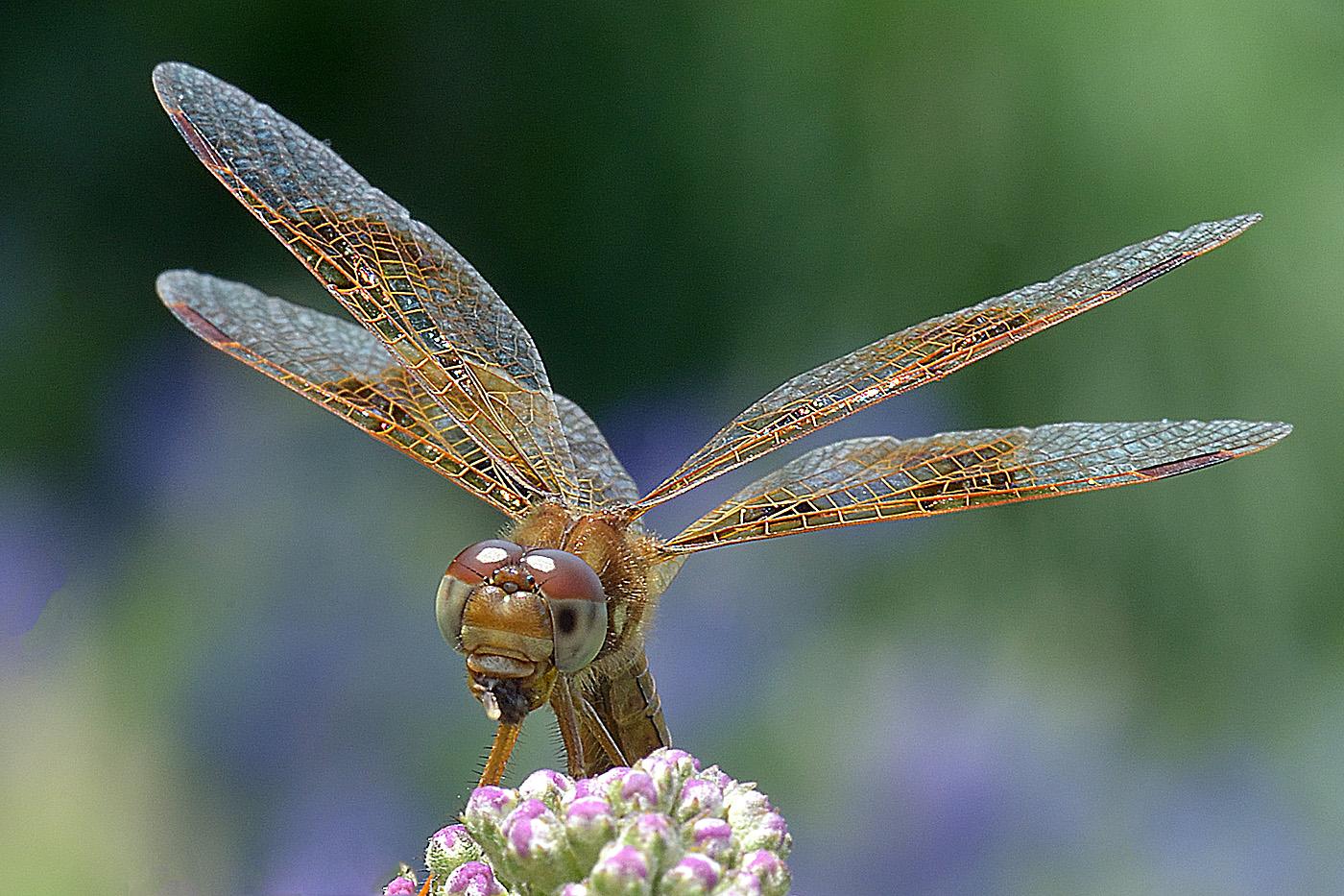 1st-31~A~Dragonfly~VanDijk Leo