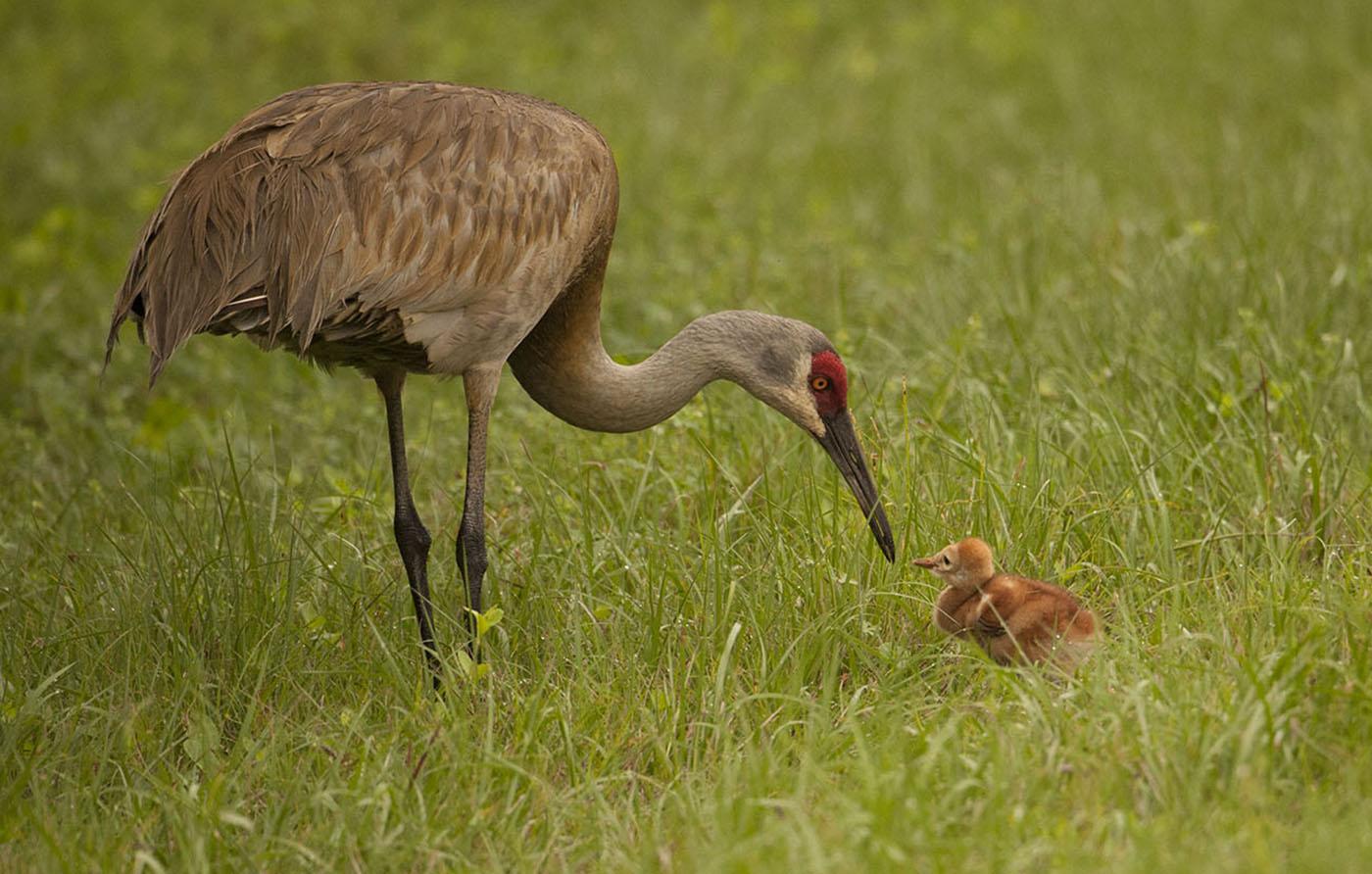 1st-32~B~Sandhill Crane and Chick~Maddocks Nancy