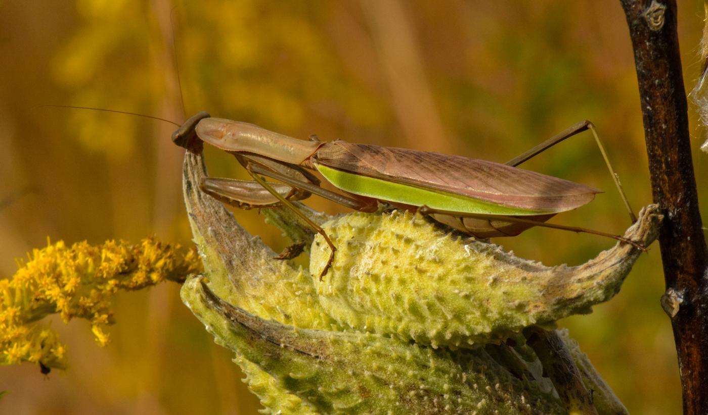 2nd-24~B~Preying Mantis on Milkweed Pod~Beckwith Warren