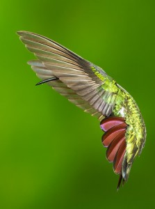 2010 Grand Prize Winner of the Audubon Photography Awards Green-breasted Mango by Dennis Goulet