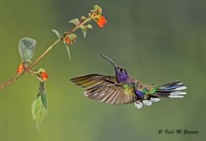 Violet Sabrewing Hummingbird (Multi-flash, 1/200 sec at f / 14, iso 400, 300mm)