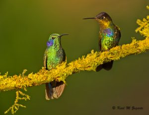 Green Violet-eared and Fiery-throated Hummers (1/1250 sec at f / 6.3, ISO 2000, 600 mm)