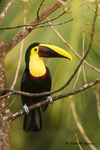 Chestnut Mandible Toucan ( 1/400 sec at f/5.6, ISO 500, 600mm)
