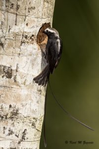 Long-tailed Tyrant (1/2000 sec at F8, ISO 500, 600mm )