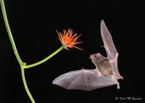 Pallas' Long-tongued Bat (4.0 secs at f / 11 , ISO 400, 300 mm )