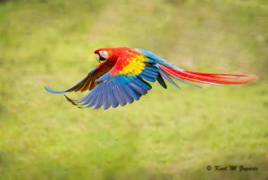 Scarlet Macaw (1/1250 sec at f / 3.5, iso 1600, 300mm )