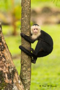 White-faced Capuchin Monkey (1/1250 sec at f /3.5, iso 2000,300mm )