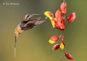 Long-billed Hermit Hummingbird (Multi-flash 1/200 sec at f /13, iso 250, 300mm)