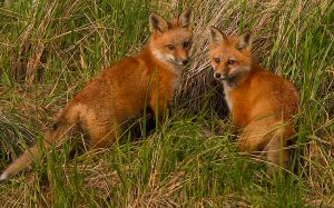 Alert Red Foxes-#2_6821