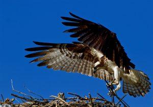 Osprey-Saugus River-J.Mosser_7589