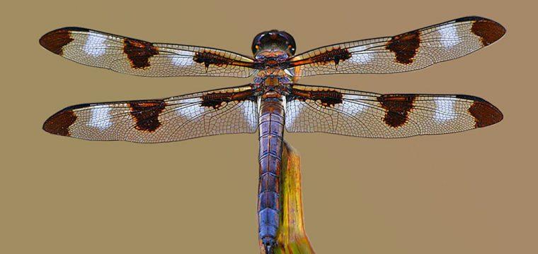 Odonata resting for a moment -1 Copy