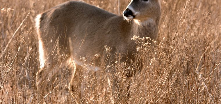 White Tailed Deer -1 Copy