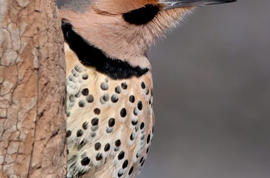 Yellow Shafted Northern Flicker-IMG_9244