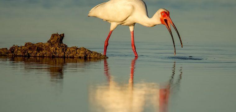 White Ibis by Susie Door